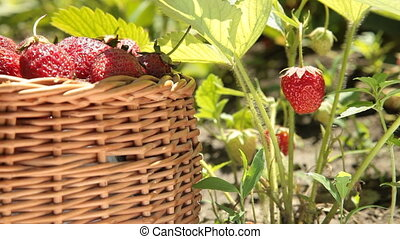 Fresh strawberries in the basket on smallholder farm