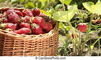 Basket of strawberries on a personal plot