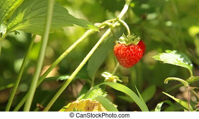 Fresh strawberry closeup - Child picking fresh strawberry on...