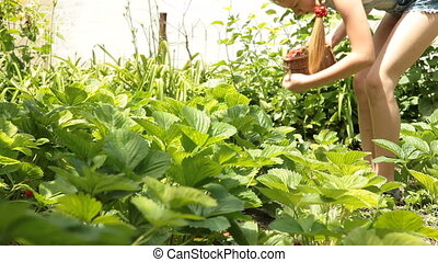 Child picking fresh strawberry - Little girl picking fresh...