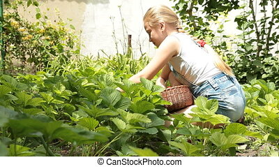 Picking fresh homegrown strawberry - Little girl picking...