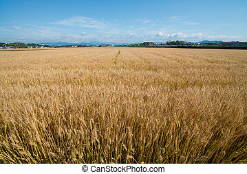 wheat field - This is a photograph of a wheat field.