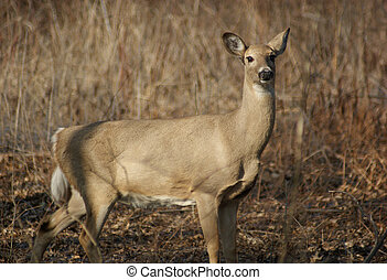 Wild Deer - A deer at Ojibway Park in Windsor, Ontario,...