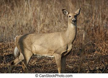 Wild Deer - A deer at Ojibway Park in Windsor, Ontario,...