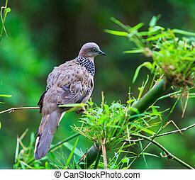 Dove tropical bird . A bird in the wild
