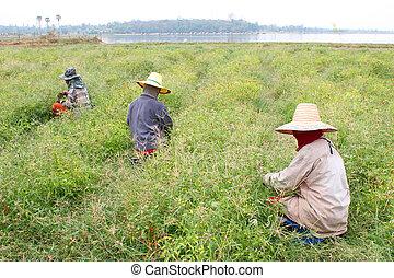 Women at hard work in guinea-pepper field
