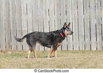 Blue Heeler dog by fence - Blue heeler dog with shock collar...