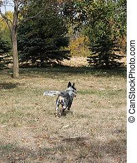 Blue heeler dog running away