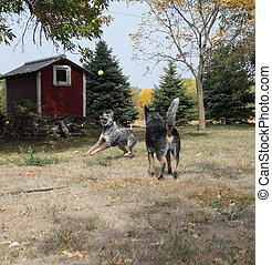 Blue heeler dogs playing with a ball on a farm