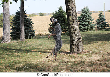 Blue Heeler Dog Jumping - Dog jumping high