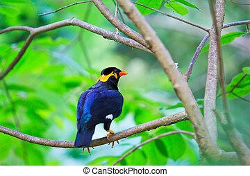Images de myna colline oiseau commun common colline for Oiseau commun
