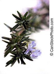 Rosemary - Fresh green rosemary with purple flowers on it