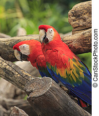 Sügér, ara papagáj, madár, ülés