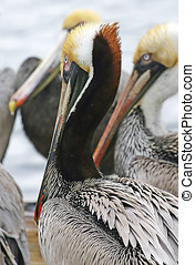 Pelican Beaks - Close up of pelicans with long, colorful...