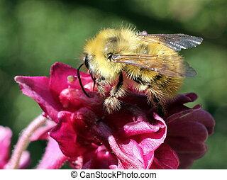 Fuzzy Yellow Bumblebee on Flower