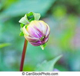 coloridos, Dahlia, flor
