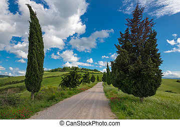 Cypress trees in Val d'Orcia Tuscany