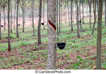 Rubber tree forest, northeastern Thailand - Rubber tree -...