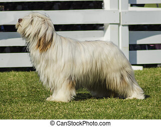 Briard dog - A beautiful white Briard dog standing on the...
