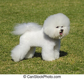 Bichon Frise dog - A small beautiful and adorable bichon...