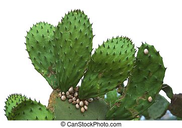 Isolated Prickly Pear Cactus with Snails - Prickly Pear...