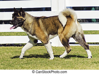 Akita dog - A profile view of a brown pinto Akita dog...