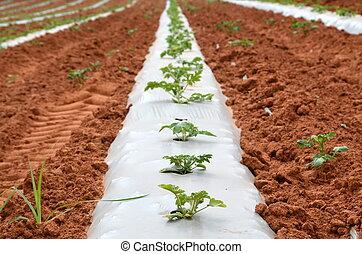 Planting under Plastic