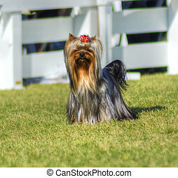 Yorkshire Terrier dog - A small gray black and tan Yorkshire...