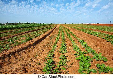 Freshly Tilled and Planted Field - Freshly planted and...