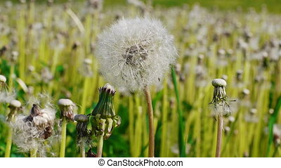 White dandelion swayed in the wind - Close-up of white...