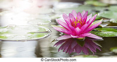 Pink lotus flot on the river gardent.