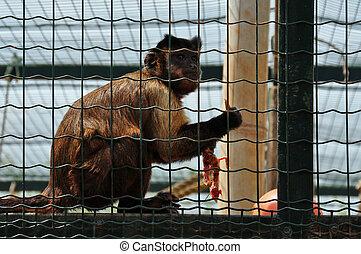 capuchin monkey eating bird