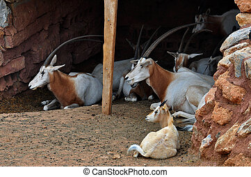 scimitar horned oryx - Herd of scimitar horned oryx...