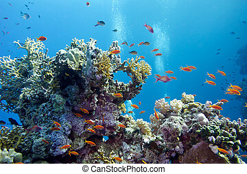 coral reef with hard corals and exotic fishes anthias at the bottom of tropical sea on blue water background