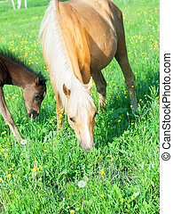 welsh pony mare with foal in the pasture