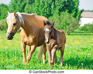 welsh pony mare with foal in the spring meadow
