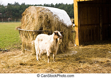 billy goat on a farm