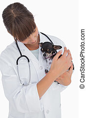 Concerning vet holding a cute chihuahua on white background