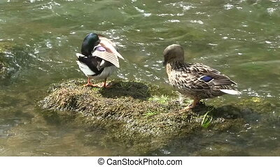 A pair of Mallard ducks on a stone.
