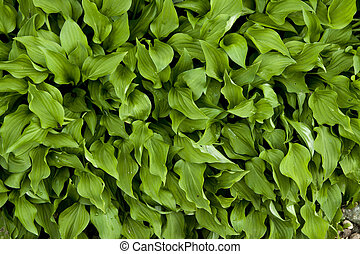 hosta making a green carpet from leaves