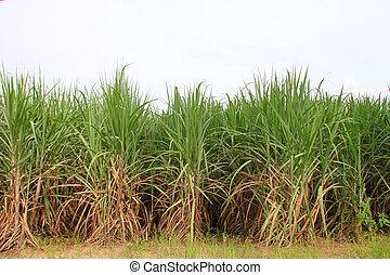 azúcar, bastón, plantación