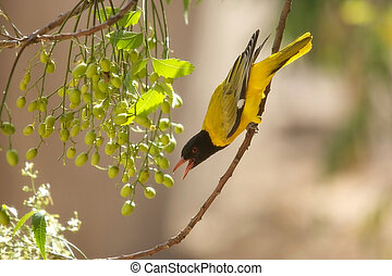 Ethiopian Oriole (Oriolus monacha). Bird in the wild