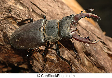 stag beetle Lucanus cervus on an old trunk
