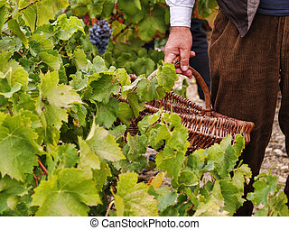 Harvesting grapes during festival of the grape harvest of...