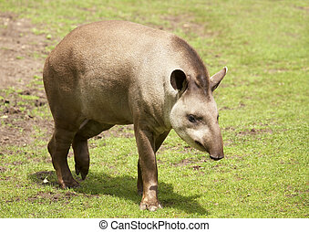 Tapir - Brazilian tapir (Lowland tapir). Sort : Tapirus...