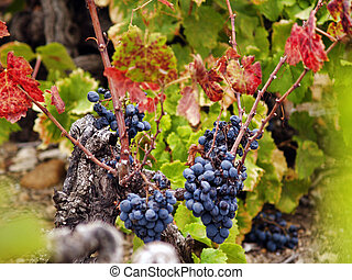 Harvesting grapes - Autumn vineyard with grapes during...
