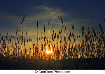 wheat stalks against the coming sun