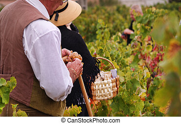 Harvesting grapes - traditional Wine harvesting during 14th...