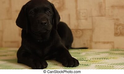 labrador puppy - charming little labrador puppy