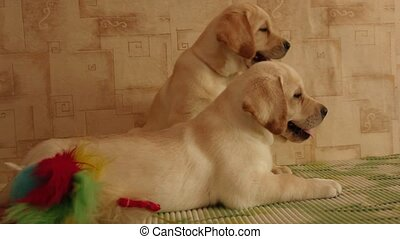 labrador  puppies  - Two labrador retriever puppies
